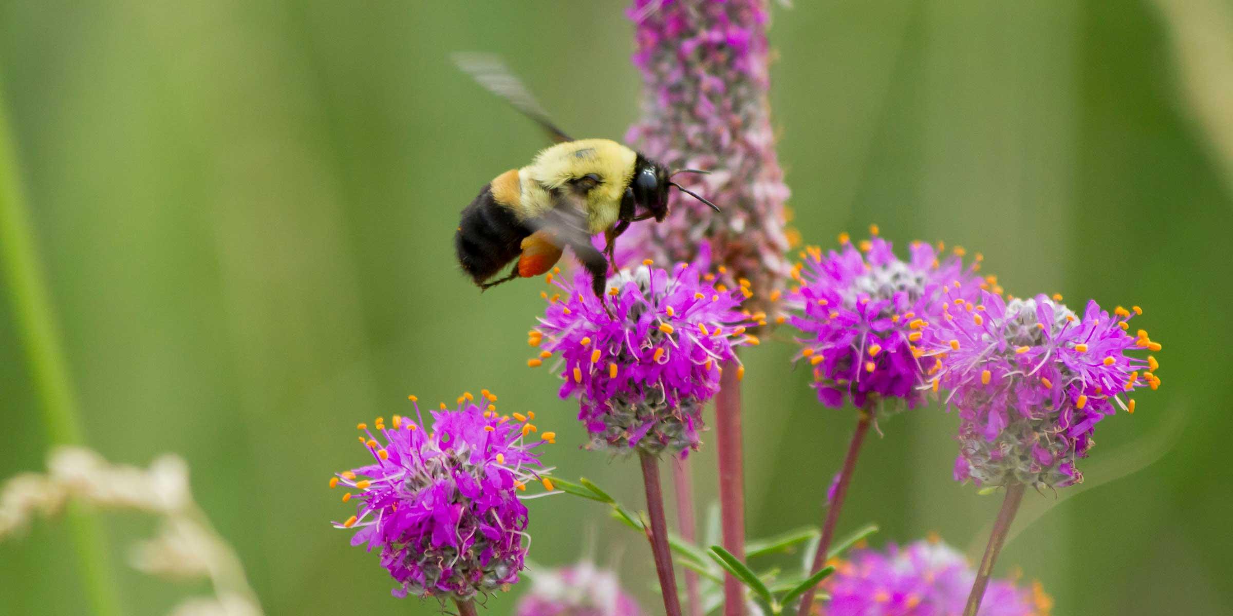 A bumblebee pollinates a prairie clover. NPS Photo by Erin Anfinson