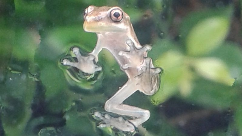 Image of a small grey colored frog sticking to a window.
