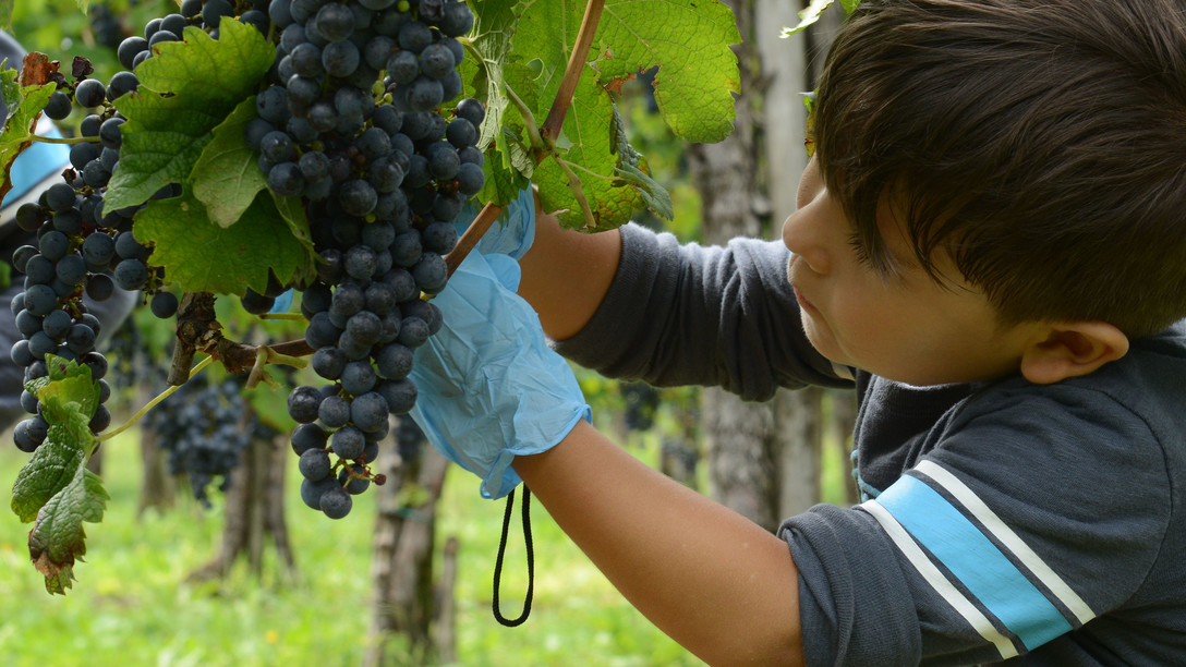 Grape harvest in San Quirino, Italy on Sept. 17, 2016.  (U.S. Air Force photo by Staff Sgt. Andrew M. Satran/Released)