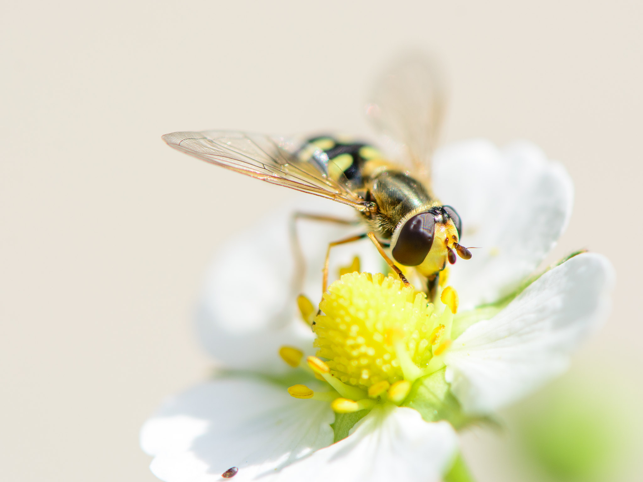 A hoverfly perched on a white flower