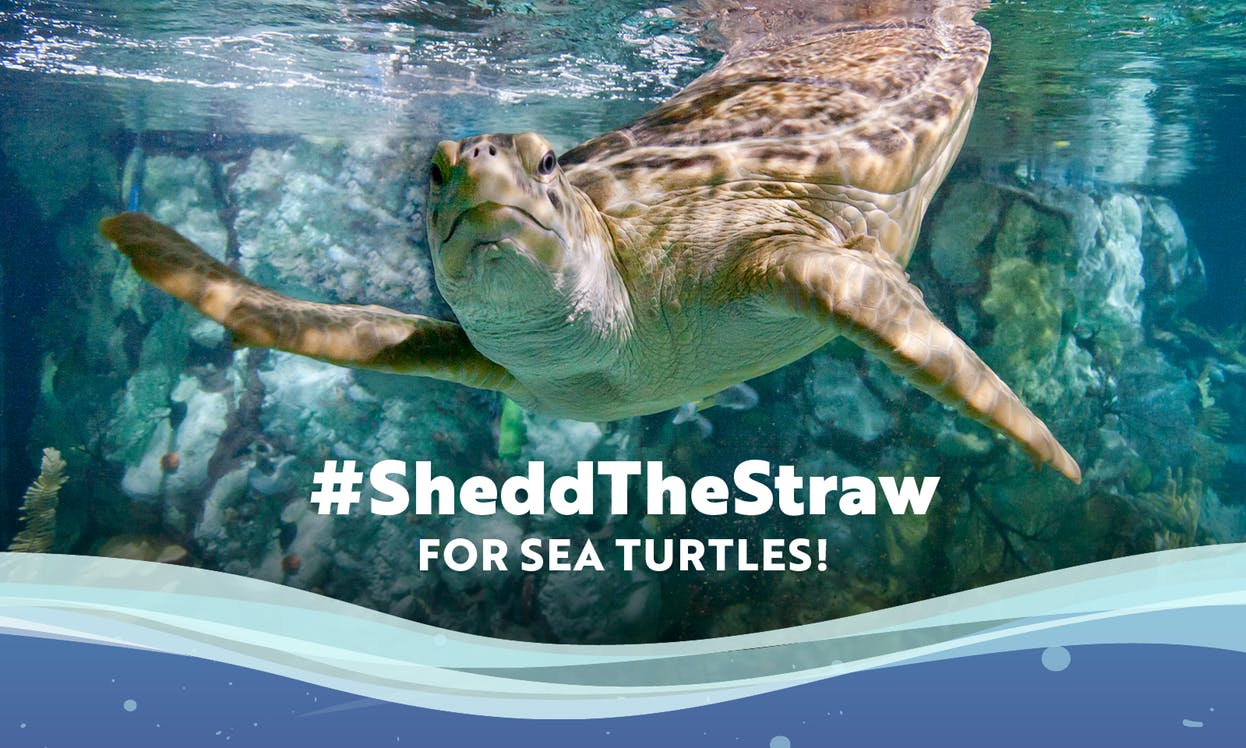 "A graphic from the #SheddTheStraw campaign at the Shedd Aquarium says ""#SheddTheStraw for sea turtles!"" with an image of a sea turtle."
