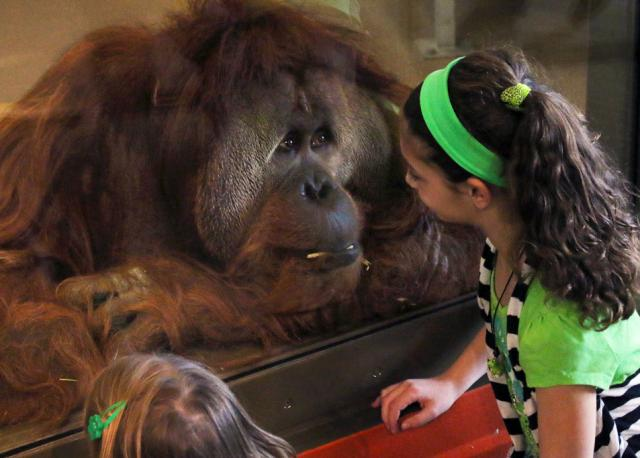 Azy the Orangutan, Indianapolis Zoo. Photo credit: Craig Banister.