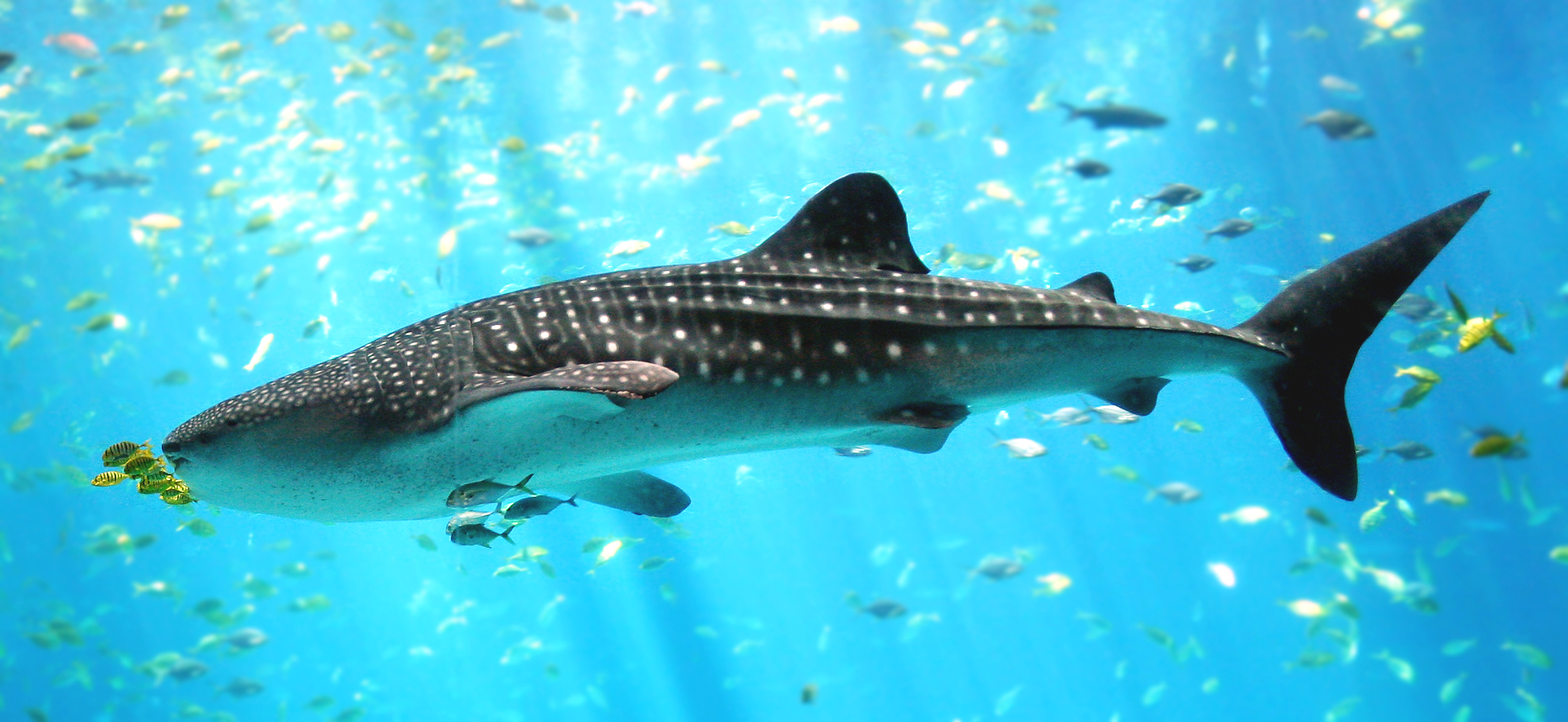 Whale shark, Georgia Aquarium