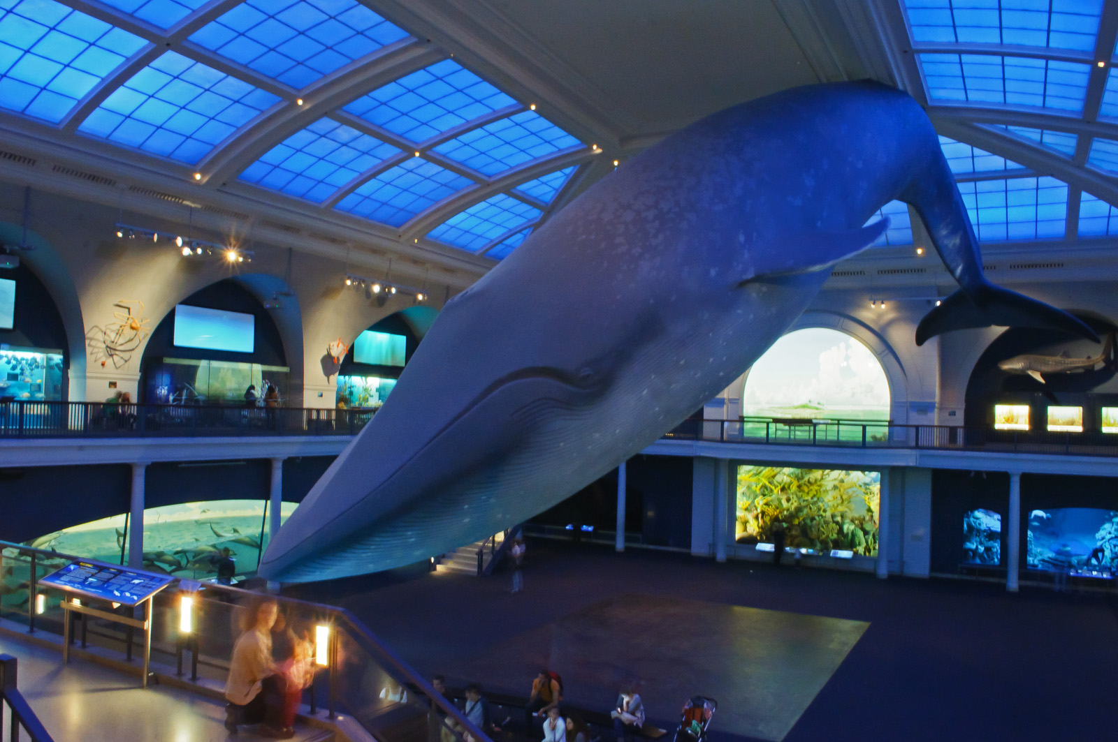 The inside of AMNH, with a large blue whale model hovering over everything